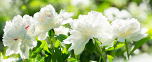 Peony Flowers On Green Background In A Summer Garden