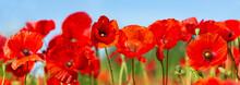 Red Poppy Flowers In A Field. Poppies Meadow