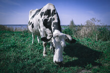 Obedient Grazing Cow In The Town-island Of Sviyazhsk, Tatarstan