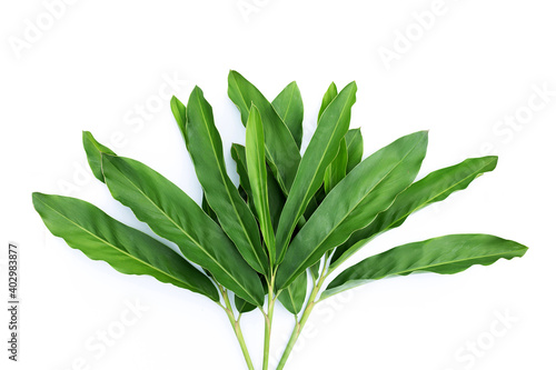 Slika na platnu Fresh galangal leaves isolated on white background.