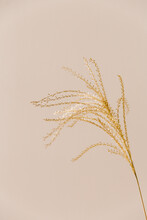 Golden Colored Dried Grain Bathing In Sunlight In A Neutral, Clean And Empty Beige Setting.
