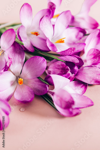 Fototapety, obrazy: Creative layout pattern made with spring crocus flowers on pink background. Flat lay. Spring minimal concept.