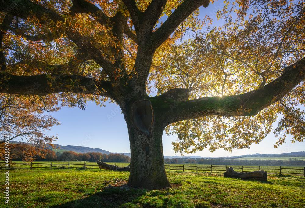 Secular oak tree in autumn. Tuscany, Italy.