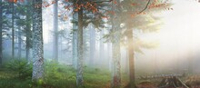 Mysterious Evergreen Forest In A Fog. Mighty Pine Trees, Moss, Green Plants In A Blue Light. France, Europe. Dark Atmospheric Autumn Landscape. Ecotourism, Ecology, Seasons, Nature. Fantasy, Magic
