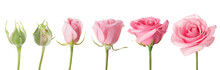 Blooming Stages Of Rose Flower On White Background