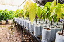 Young Cocoa Tree In Nursery