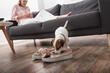 jack russell terrier smelling shoes on floor near woman on blurred background