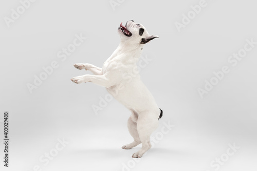 Nice to see you. French Bulldog young dog is posing. Cute playful white-black doggy or pet is playing and looking happy isolated on white background. Concept of motion, action, movement.