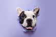 Gentleman. French Bulldog young dog is posing. Cute playful white-black doggy or pet is playing and looking happy isolated on purple background. Concept of motion, action, movement.