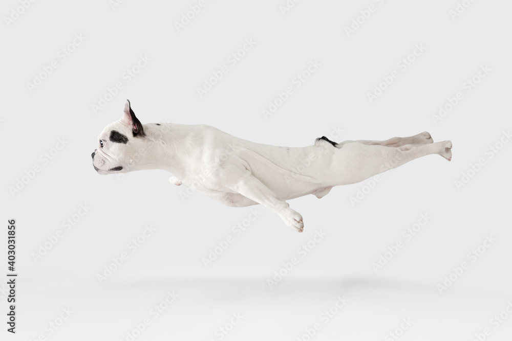 Fototapeta Levitating flying dog. French Bulldog young dog is posing. Cute playful white-black doggy or pet is playing and looking happy isolated on white background. Concept of motion, action, movement.