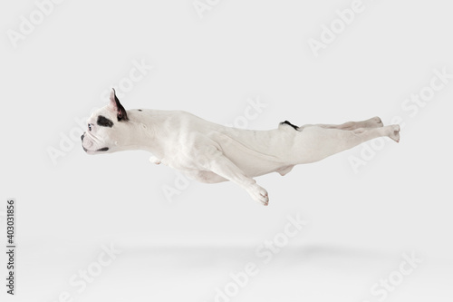 Levitating flying dog. French Bulldog young dog is posing. Cute playful white-black doggy or pet is playing and looking happy isolated on white background. Concept of motion, action, movement.