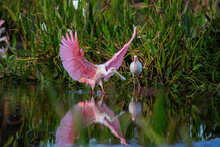 Roseate Spoonbills Flying, Preening, And Feeding In A South Florida Nature Preserve