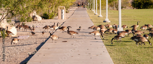 Fotografering Canada Geese on Railroad Lake in Cornerstone Park, Henderson, NV.