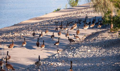 Foto Canada Geese on Railroad Lake in Cornerstone Park, Henderson, NV.