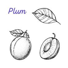 Plum Hand Drawn Vector Illustration. Plum Slice Sketch. Vector Illustration. Black And White.