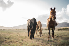 Beautiful Racehorses Horses In The Wild, Walking Eating Grass, High Hilly Mountain Background. Beautiful View, Screen Saver Monitor