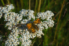 White Achillea Millefolium Wildflower With Common Copper Butterfly.