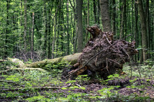 A Tree Uprooted In The Forest After A Storm