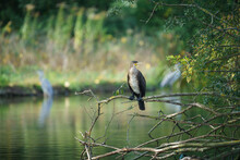 Cormorant Resting On A Branch Near The Water