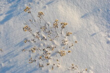 Dry Yellow Fluffy Flowers On Meadow With White Snow, Top View