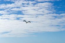 Pelican Flying Overhead On Florida Beach