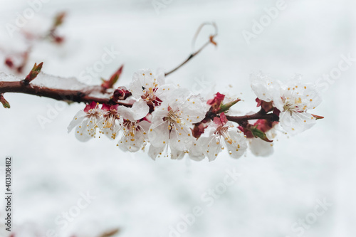 A branch of blossoming apricots is covered snow with late April, early March. The concept of abnormal weather, global warming and displacement of climatic zones.