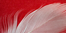 White Duck Feather On A Red Background