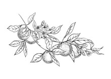 Orange Tree Branch With Ripe And Green Oranges, Flowers And Leaves. Element For Design. Graphic Drawing, Engraving Style. Vector Illustration.. Isolated On White Background..