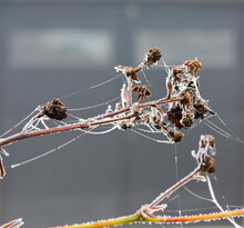 Close Up Of Frozen Spider Web Hanging On Blackberry Twig. Natural Macro Background.