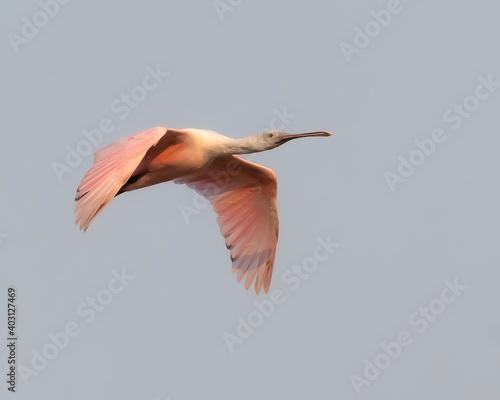 Photo espatula rosada