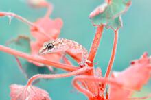 Closeup  Beautiful Gecko In The Garden