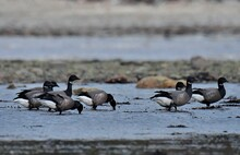 Geese Bernacle At Low Tide In Brittany. France