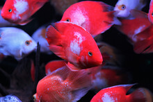Hybrid Red And White Parrot Cichlid Are Swimming In Freshwater Aquarium. Blood Parrot Cichlid Is A Hybrid Between Midas And Redhead Cichlid.