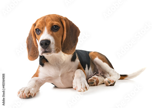 Fototapeta puppy beagle in studio obraz