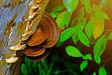 Wood Parasitic Fungus Growing On Wood Carcass.