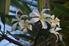 White Flower -frangipani