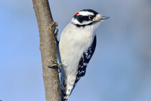 A Downy Woodpecker On A Tree
