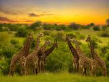 Giraffen im Nationalpark Tsavo Ost, Tsavo West und Amboseli in Kenia
