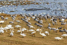 Whooper Swans And Cranes On The Beach Meadow In Spring