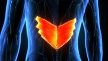 3d Render Of Human Serratus Posterior Inferior Muscle Anatomy