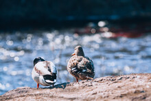 Two Ducks On The River Bank. Duck Family, Female And Male.