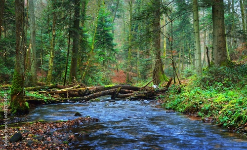 Small river in autumn pine forest with a carpet of brown and golden fallen leaves. France, Alsace. Atmospheric landscape. Picturesque scenery. Nature, ecotourism, ecology, environmental conservation