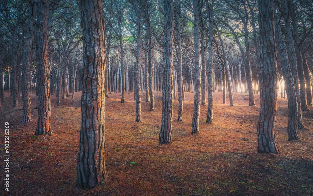 Pinewood forest. Marina di Cecina, Maremma Tuscany, Italy