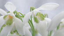 Snowdrops. Galanthus Is A Small Genus Of About 20 Species Of Bulbous Perennial Herbaceous Plants In The Family Amaryllidaceae.