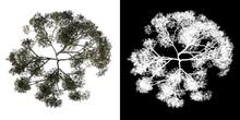 Top View Tree (Rain Tree Albizia Saman 3) White Background Alpha Png 3D Rendering Ilustracion 3D
