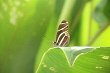 Picture Of Zebra Butterfly On A Leaf