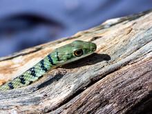 Spotted Bush Snake (Philothamnus Semivarietus) On Log
