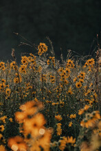 Prairie Of Wild Autumn Sunflowers In The Midwest. Selective Focus. Golden Flowers And Summer Prairie Grass At Dawn.