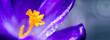 Leinwandbild Motiv Macro Shot of a purple flowering crocus.