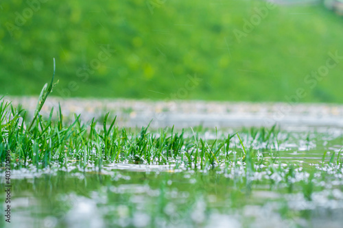 Fototapeta green grass in a puddle during the rain